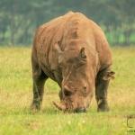 Пандемията от коронавирус заплашва и носорозите