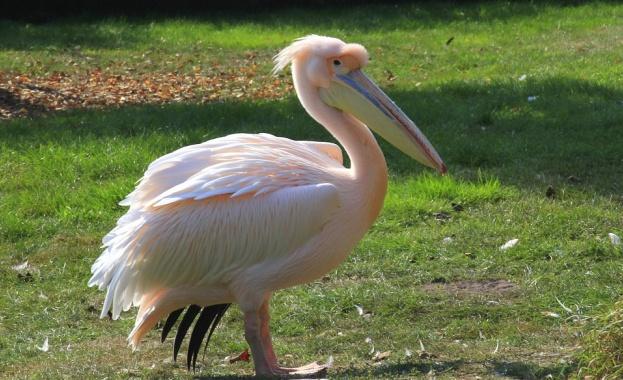 """Започна разможителният период на пеликаните в резервата """"Сребърна"""""""