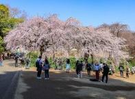 Цъфналите вишни на Токио