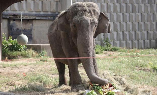 Слоницата Артайда празнува рожден ден с 38-килограмова торта. Обитателката на