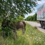 Изоставено магаре застраши шофьори на пътя Казанлък – Стара Загора