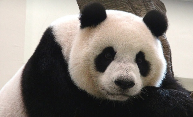 Пандата Юан Юан роди второ малко