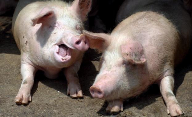Българското свинско месо задоволява едва 40% от потреблението у нас
