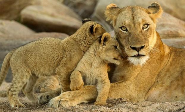 Зоологическата градина в Рим представи двете женски лъвчета, родени по