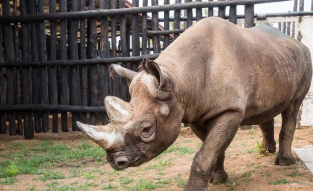 Най-възрастният черен носорог в света почина в сряда в зоологическата