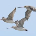 """Рекорд: Птица прелетя по-дълго разстояние от """"Боинг 787"""""""