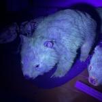 Вомбатите имат флуоресцентна козина