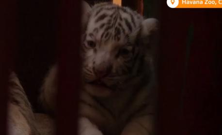 Четири бенгалски тигърчета, сред които бебе с редкия бял цвят, се родиха в зоопарк в Хавана