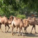 4 нови двугърби камили пристигнаха в столичния зоопарк