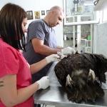 Черен лешояд е намерен отровен в района на Крумовград