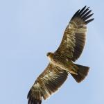 Царски орел е прострелян край Ямбол