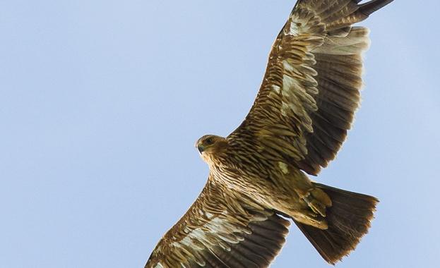 Една от най-редките и емблематични птици в света - царски